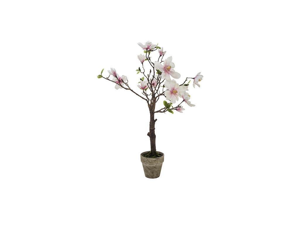 Magnolie v květináči